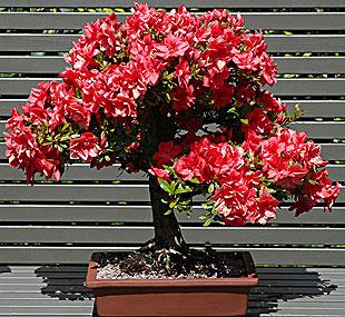 bonsai_azalea