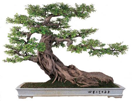 bonsai_nhat_ban