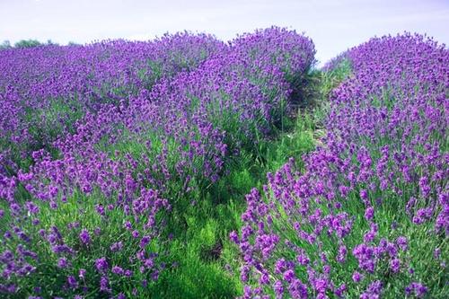 hoa-oai-huong-hoa-lavender-da-lat_500