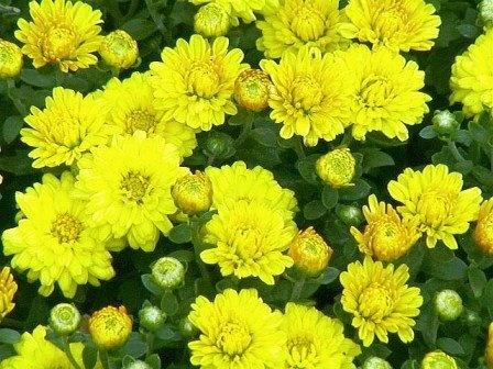 Hoa Cúc tượng trưng cho sự tường tồn vĩnh cửu